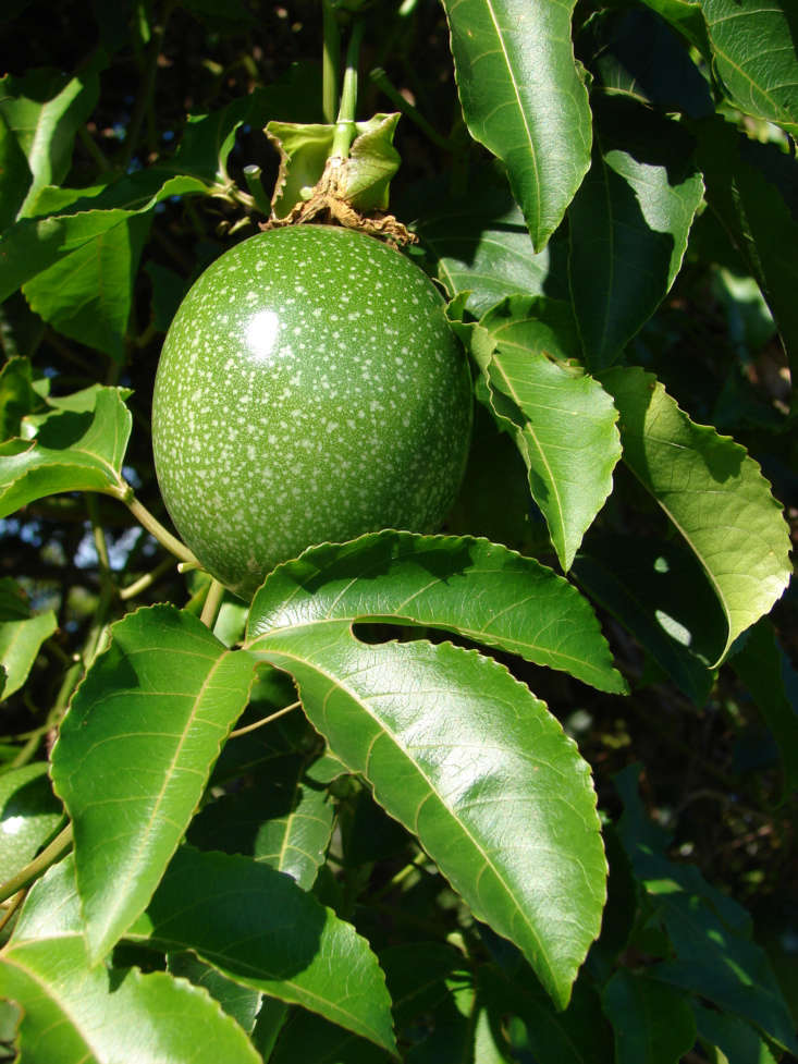 If you are a fan of the guava-like passion fruit, you will want to investigate Passiflora edulis, which is the botanic name of the tropical species best known for its edible fruit and used in commercial passion fruit production. Photograph by Forest and Kim Starr via Flickr.