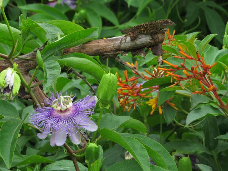 Purple and orange are happy companions; passionflower and firebush (Hamelia patens). Photograph by Susan Young via Flickr.