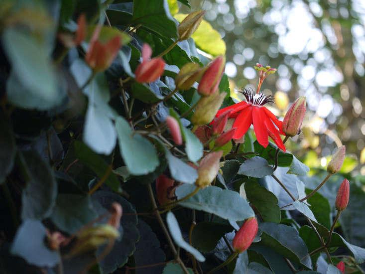 Passiflora coccinea. Photograph by Dinesh Valke via Flickr.