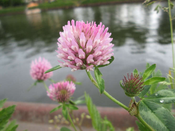 A European native, red clover (Trifolium pratense) is grown widely in Denmark as a feed crop. Photograph by Andreas Rockstein via Flickr.