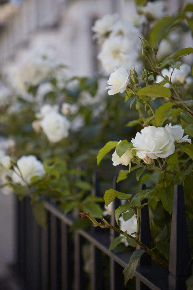 Floribunda bush rose &#8\2\16;Iceberg&#8\2\17; decorates the metal railings.