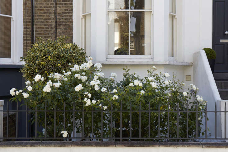 &#8\2\16;Iceberg&#8\2\17; roses bloom in front of a variegated holly.