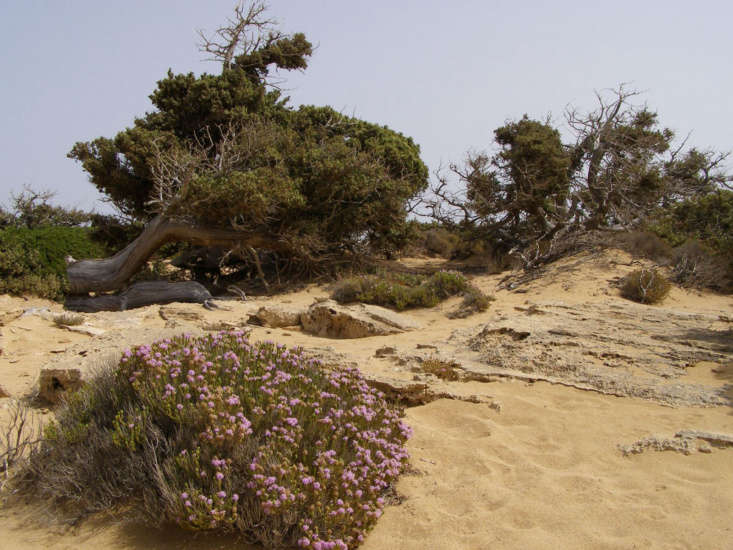 In the foreground, a mound of flowering Spanish oregano (Thymus capitatus) grows in the sand on the Greek island of Gavdos. Photograph by Frente via Wikimedia.