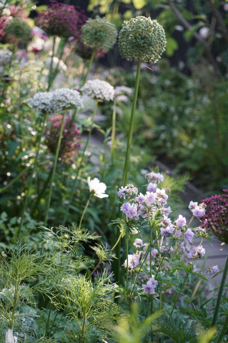 Allium varieties include A. nigrum, 'Mount Everest', and A. atropurpureum.