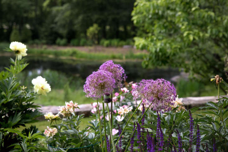 Barbara recommends &#8\2\16;Globemaster&#8\2\17; alliums. &#8\2\20;They are easy to grow and, most times, will flower the first year after planting in the fall,&#8\2\2\1; she says. &#8\2\20;Plant them four to five inches below the soil line in a border close to other perennials so the foliage is hidden when it dies down during and after flowering. Remembering to let bulb foliage die down naturally is the key to having them come back year after year.&#8\2\2\1; Photograph by Justine Hand.