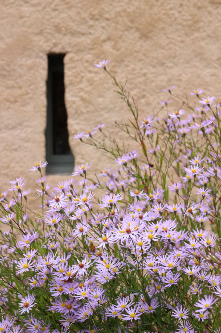 October asters outside the stable block.