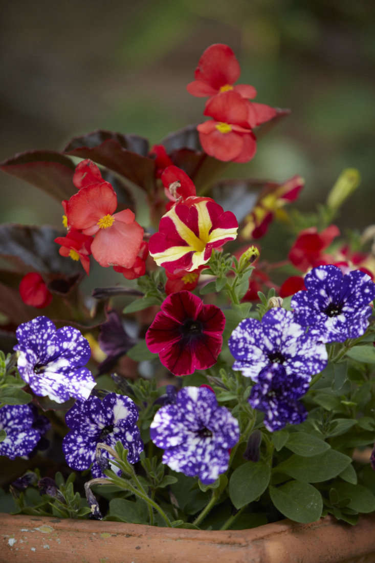Begonias and petunias complement each other with their bright colors.