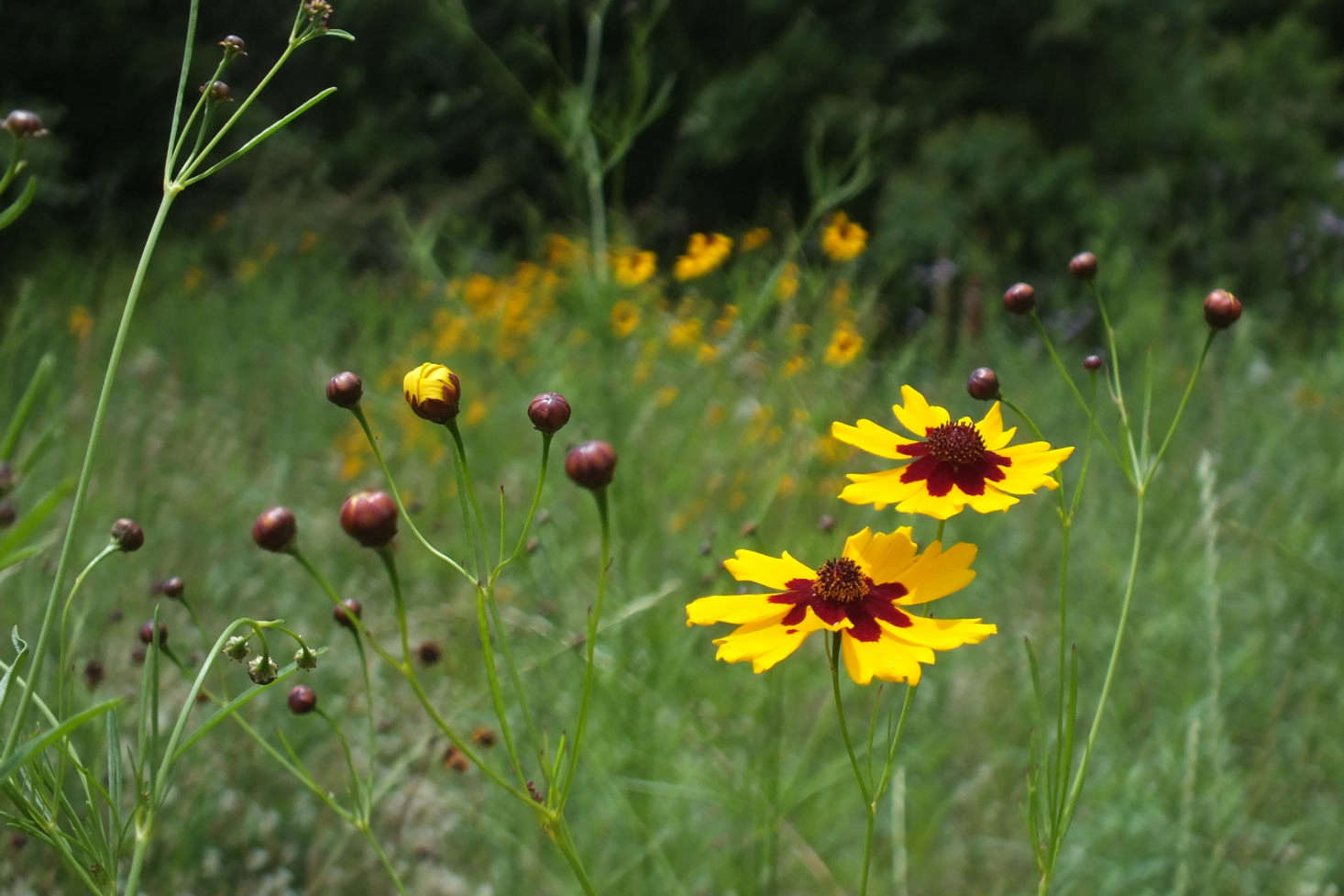 On some black-eyed Susan varieties, color seems to bleed from the center onto the petals. Two cultivars with brown or black color at the base of the petals are &#8