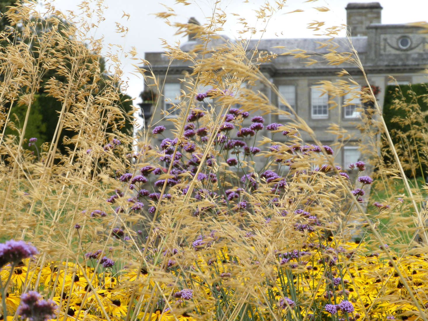 Yellow and purple: a happy combination. Here black-eyed Susans mingle with Verbena bonariensis against a backdrop of Stipa. Photograph by Amanda Slater via Flickr.