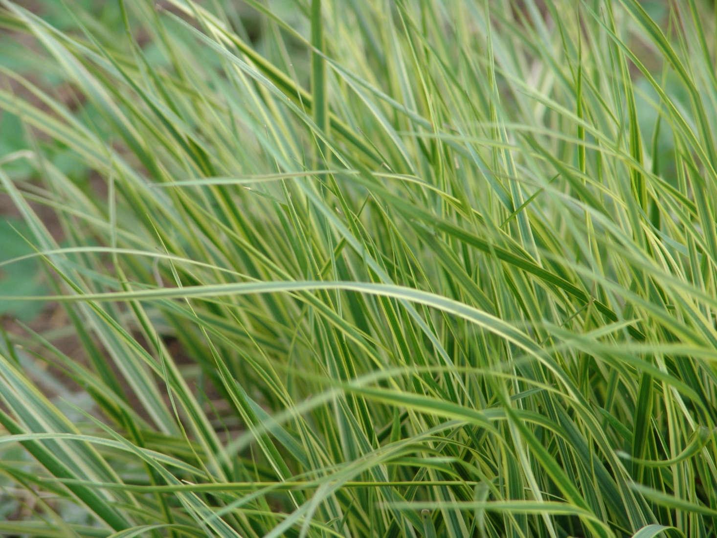 Calamagrostisx acutiflora &#8