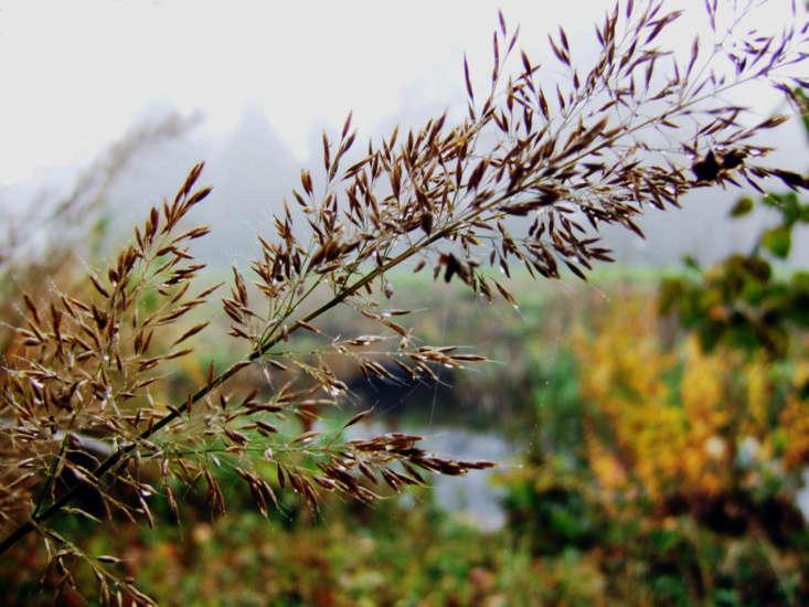 Calamagrostis brachytricha. Photograph by Dominicus Johannes Bergsma via Wikimedia.