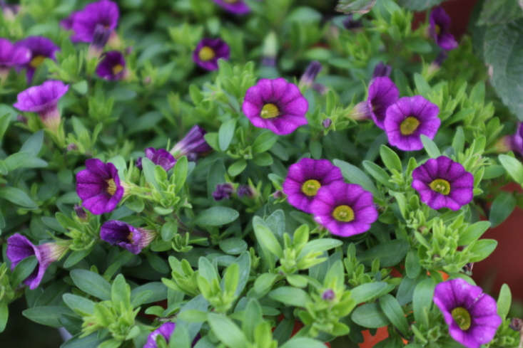Calibrachoa flowers are almost identical to petunias but are smaller, bloom more vigorously and are available in an even wider variety of colors and patterns. Photograph by Cliff Hand via Flickr.