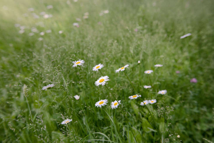 Sunny daisies in a meadow, captured by Justine on a recent summer day. For more snapshots of her garden walk, seeGarden Visit: A Revolutionary Landscape in Concord, MA.
