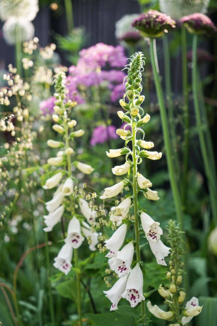 Quaking grass serves as a useful backdrop to showier garden flowers, as seen in this combination of foxgloves and briza. See more inBefore & After: A Seaside English Garden by Farlam & Chandler.Photograph courtesy ofFarlam & Chandler.