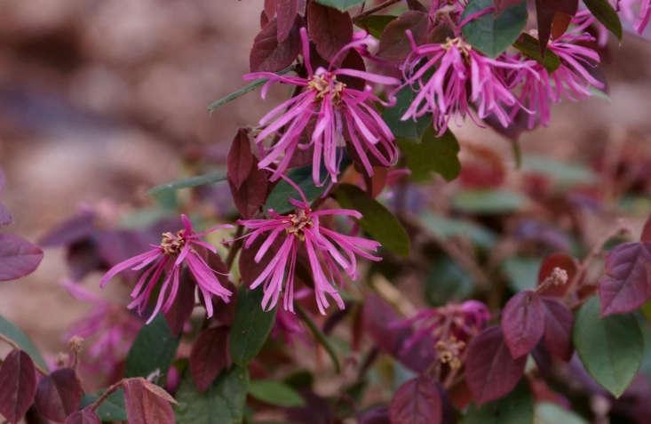 Loropetalum chinense. Photograph by Tatters via Flickr.