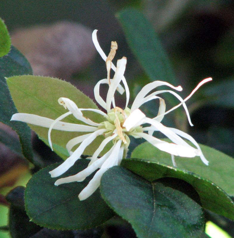 A white variety of Loropetalum chinense. Photograph by Jean via Flickr.
