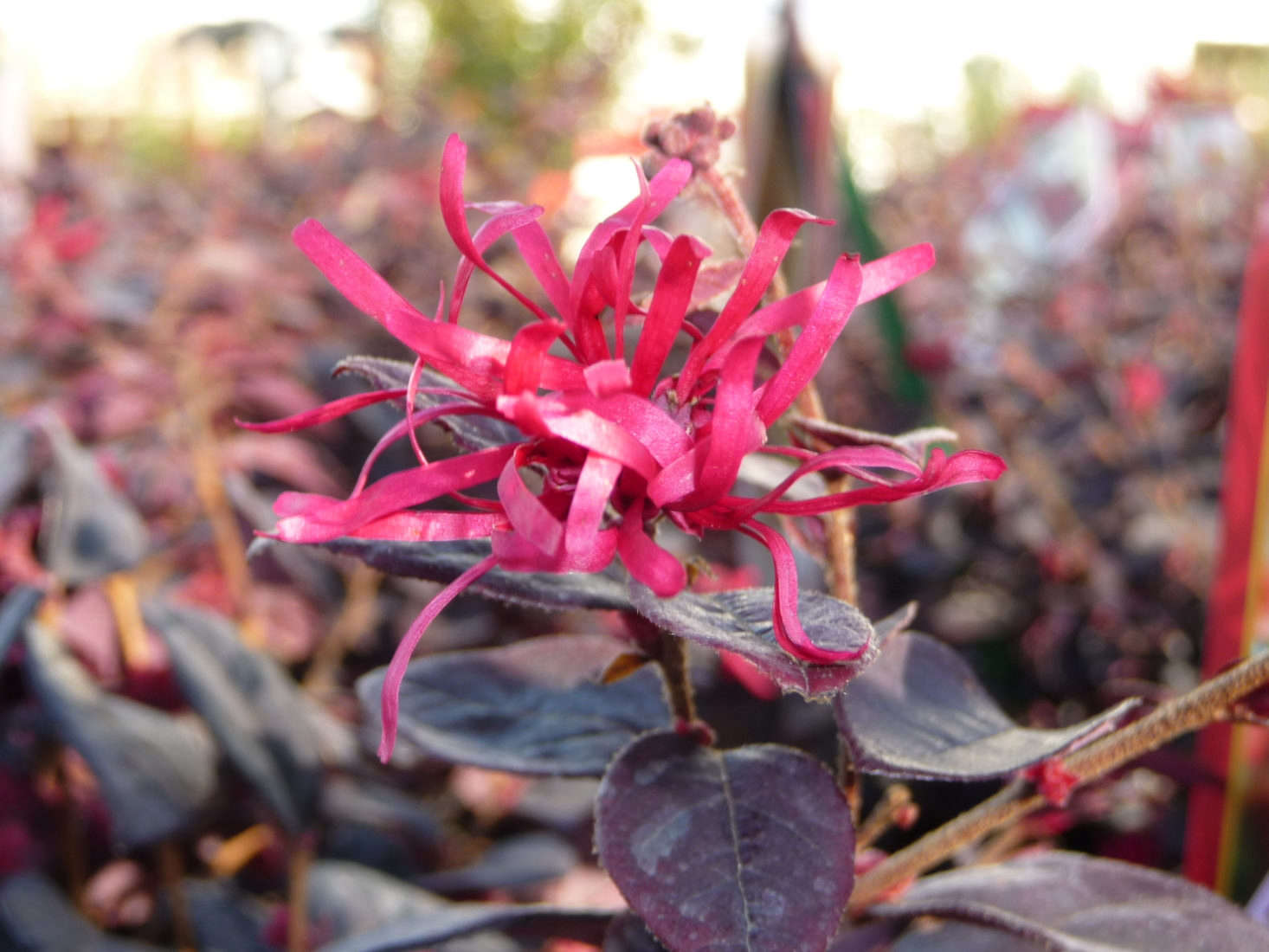 Loropetalum chinense &#8