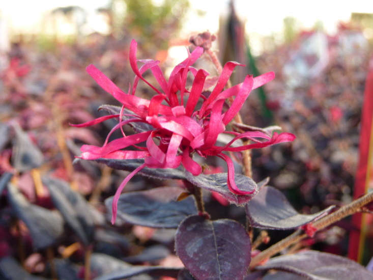 Loropetalum chinense &#8\2\16;Ever Red&#8\2\17; is available at Green Acres Nursery & Supply in California.