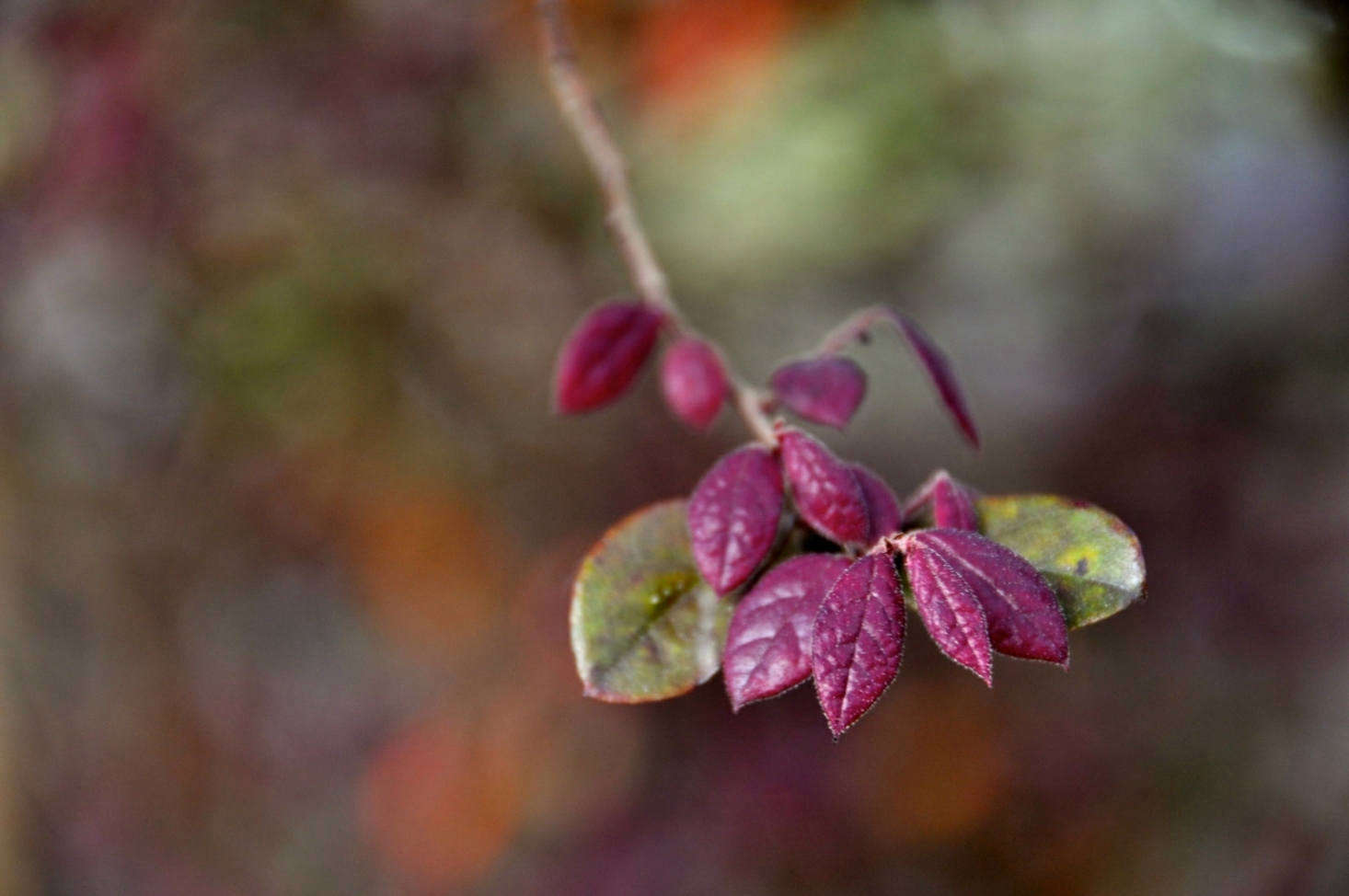A variety of loropetalum with attractive, burgundy-colored leaves. Photograph by Faunng&#8
