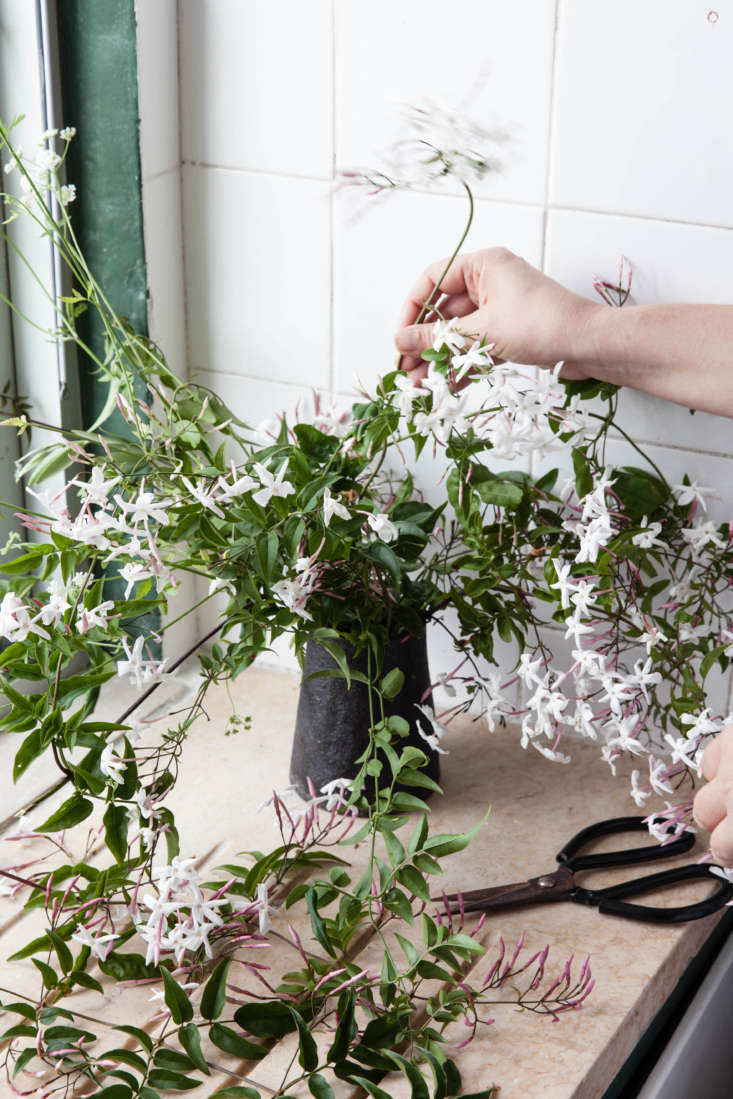 There is no substitute for long tendrils of common jasmine to add movement, space, and romance to home flower arrangements.