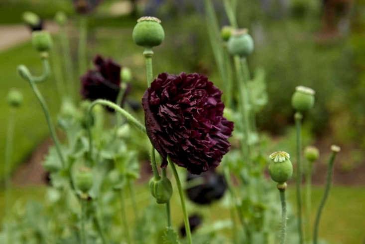 Double varieties of black opium poppy include Papaver somniferum &#8