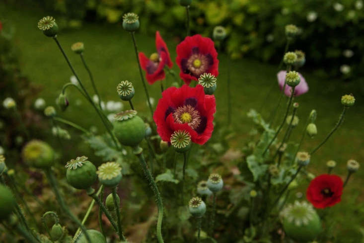 All opium poppies complement one another, from red to pink to plum to black.