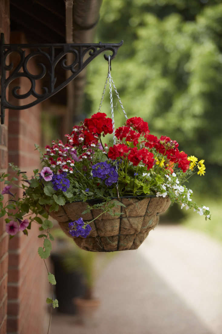 Petunias and red pelargoniums are happy companions.