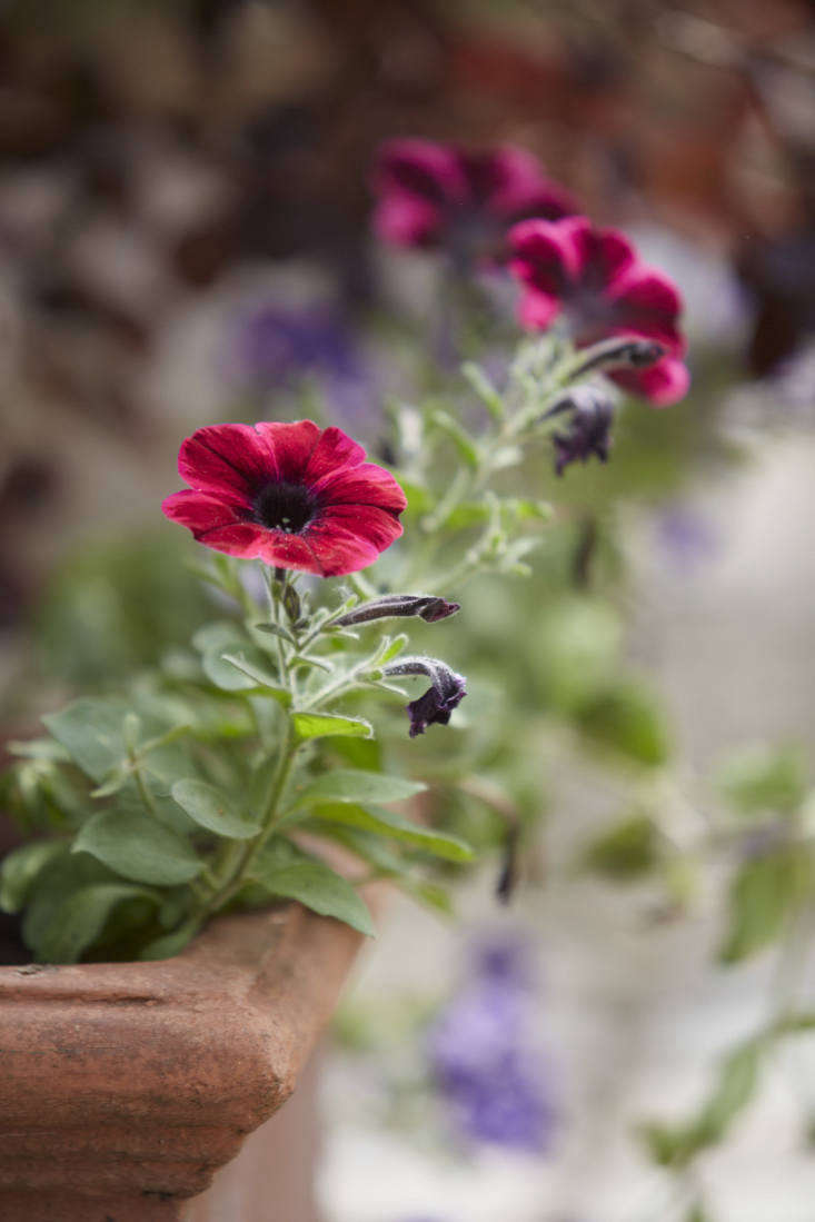 deep pink petunias by britt willoughby dyer