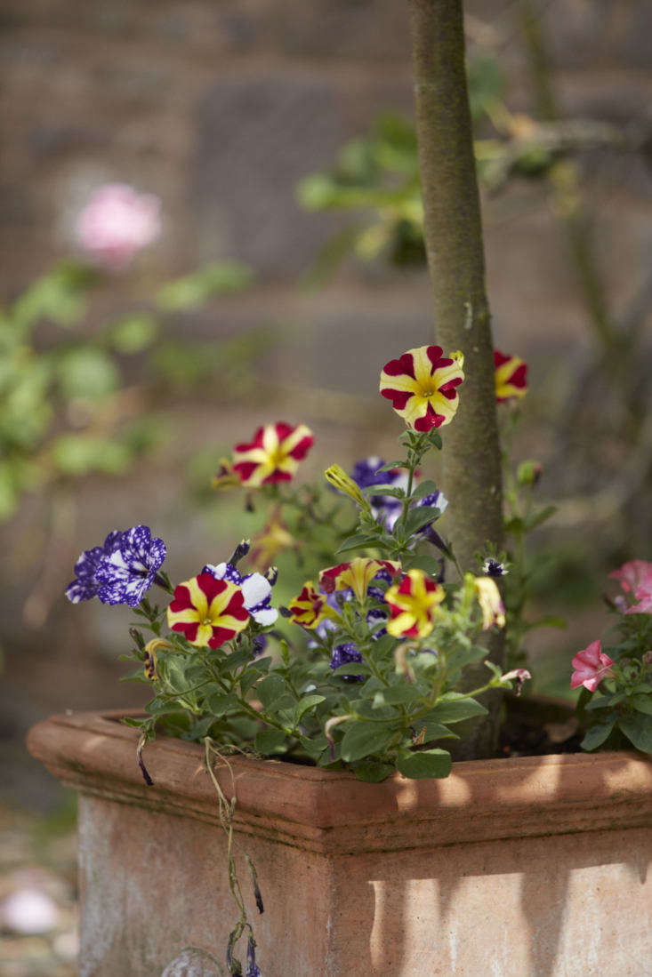 Modern petunias have varied colors, stripes, and splotches thanks to centuries of hybridizing.