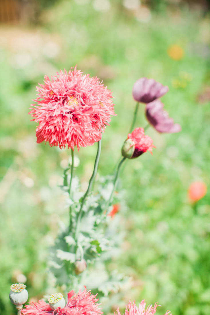 Frilly pompom poppies. To grow your own from seed, a packet of \200 seeds ofPapaver Somniferum&#8\2\16;Lilac Pompom&#8\2\17; is£\2.49 from Crocus. Or for US readers, a packet of 300 seeds ofLilac Pompom Poppy is \$3 from Baker Creek.