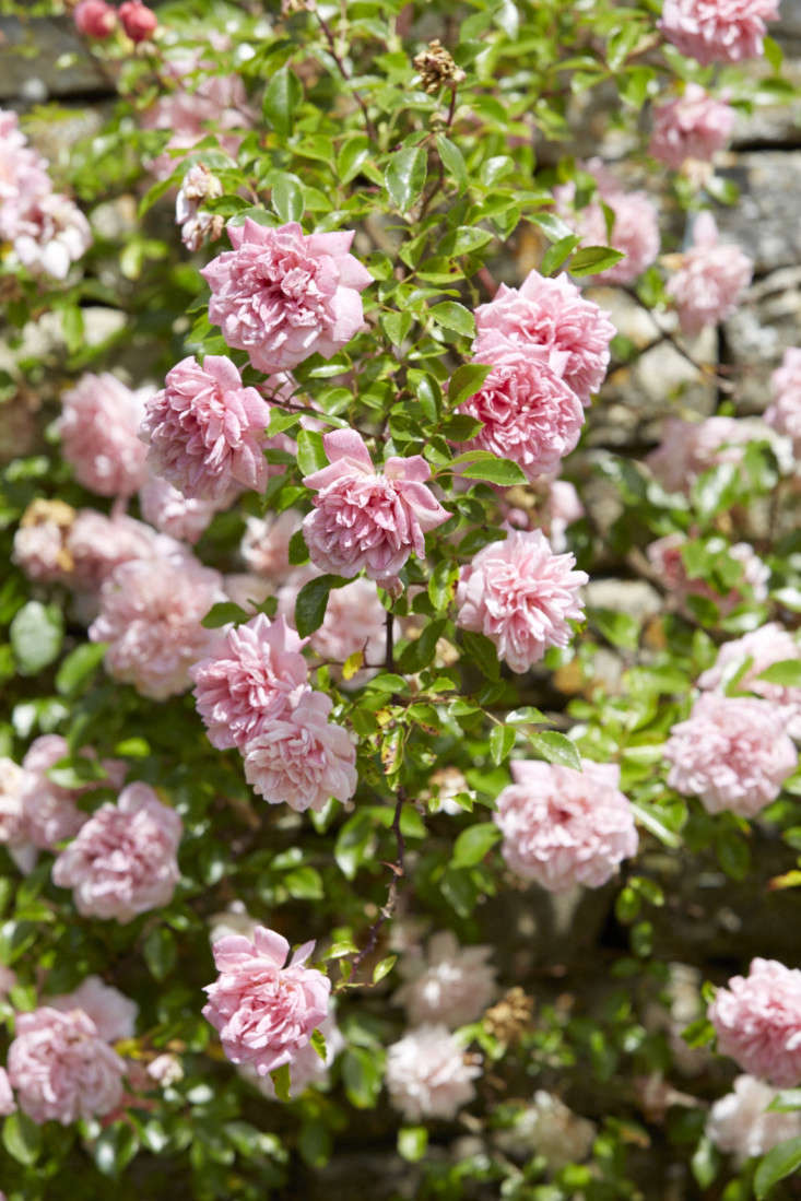 R.&#8\2\16;Albertine&#8\2\17; is a well-known old rambler growing up to \20 feet. The dark, salmon-pink buds open to almost double heads of coppery pink with a strong, sensual perfume.