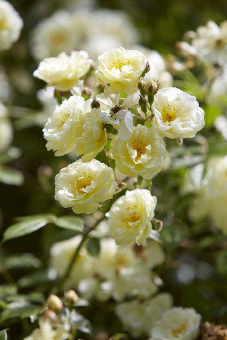 Rosa&#8\2\16;Aviateur Blériot&#8\2\17; was named after the French aviator Louis Blériot in \190\2. The double flowers fade from orangey-yellow to cream and have a good fragrance.