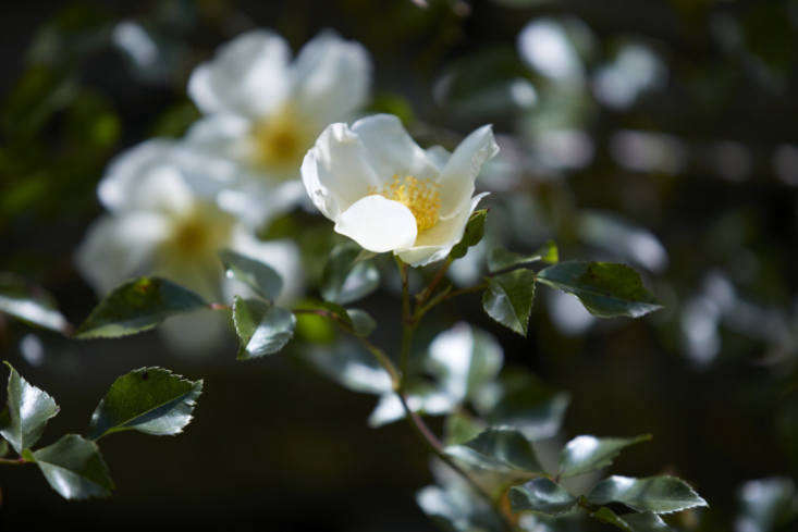 R.&#8\2\16;Jersey Beauty&#8\2\17; has elegant and profuse clusters of single flowers which fade from lemon-yellow to white, and the foliage is a rich, glossy green.