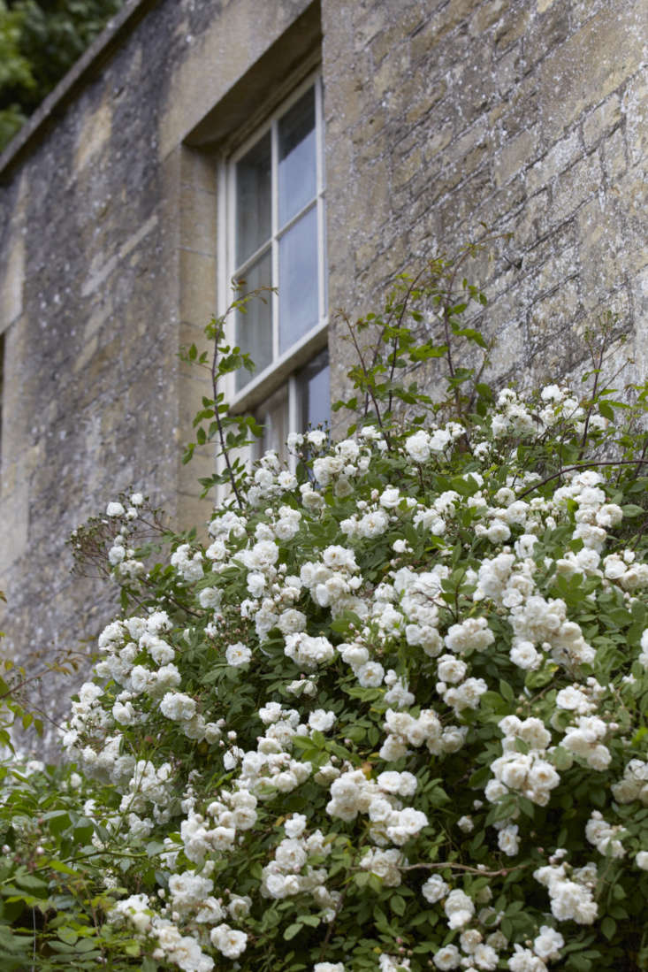 &#8\2\16;Janet B. Wood&#8\2\17;, which can be trained to climb a wall or a pillar,is a pure white semi-double rose that was rediscovered by Janet McQueen in Dunfermline in \1984. It is part of a small family of Ayreshire ramblers.