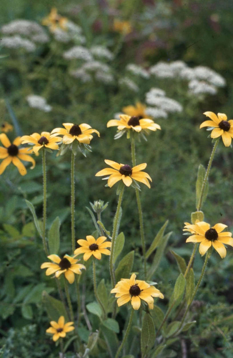Black-eyed Susans blooming on Narragansett Bay. Photograph by Dr. Mary Gillham Archive via Flickr.