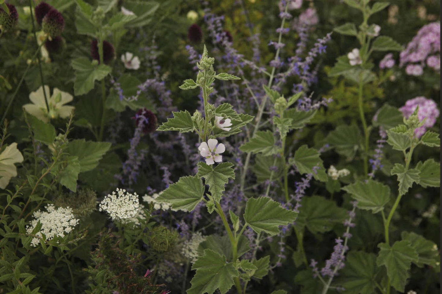 Soothing marshmallow flanked by Russian sage, hollyhocks, drumstick alliums, and umbels of wild carrot.