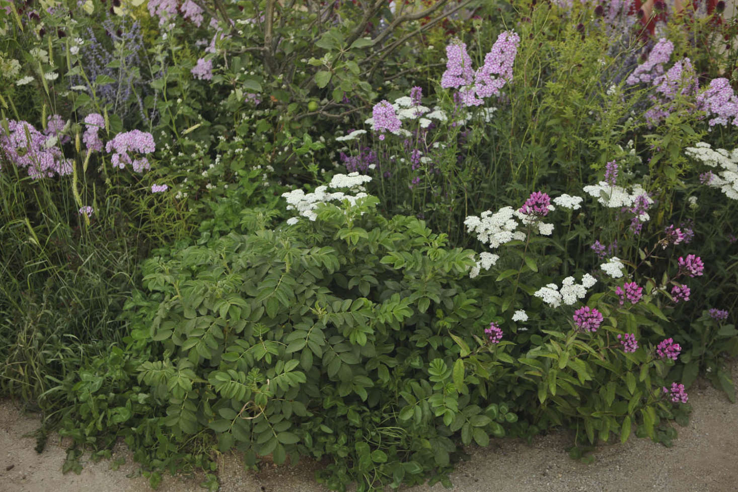 Healers, all. Rosa rugosa flanked by two-tonePhlox paniculata &#8