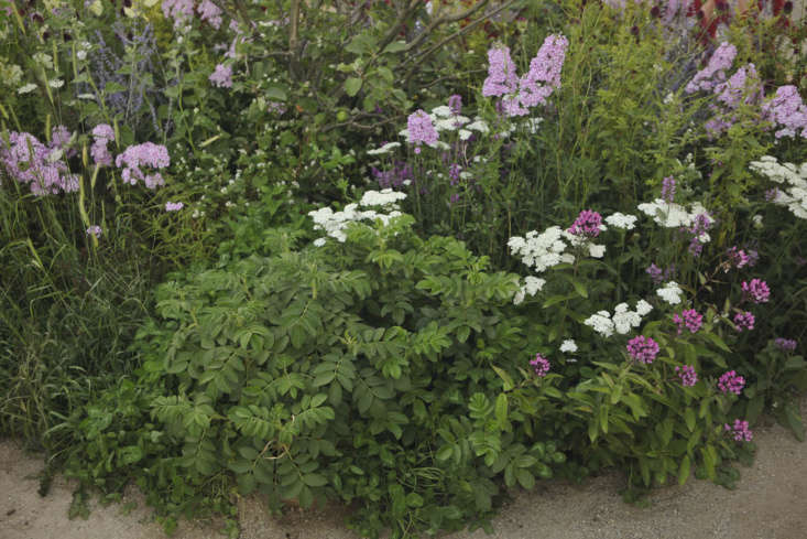 Healers, all. Rosa rugosa flanked by two-tone Phlox paniculata &#8