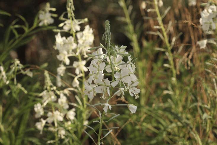 Not a weed, show-garden-worthy Epilobium angustifolium &#8\2\16;Album&#8\2\17;, a type of rosebay willow herb.