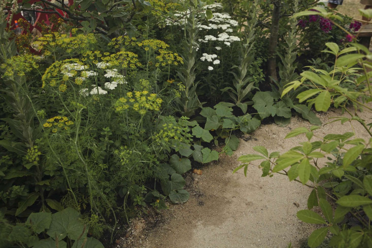 Dill (Anethum graveolens) grows close to cucumbers crawling along the ground. Also pictured is white yarrow (Achilleum millefolium &#8