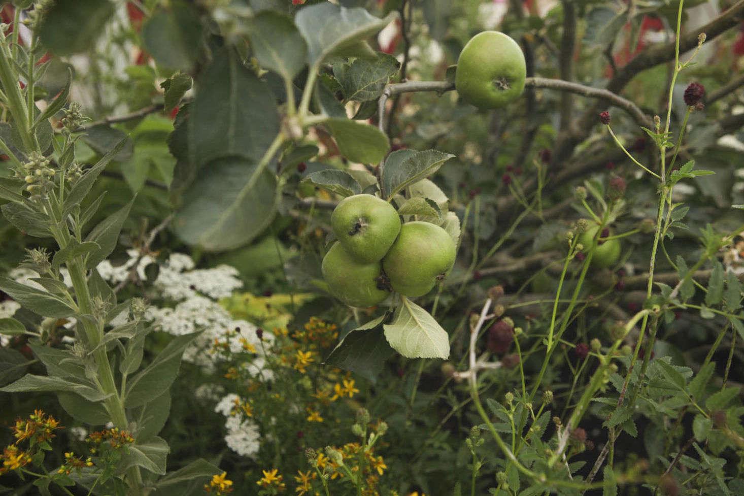 An apple tree grows amid yellow St. John&#8