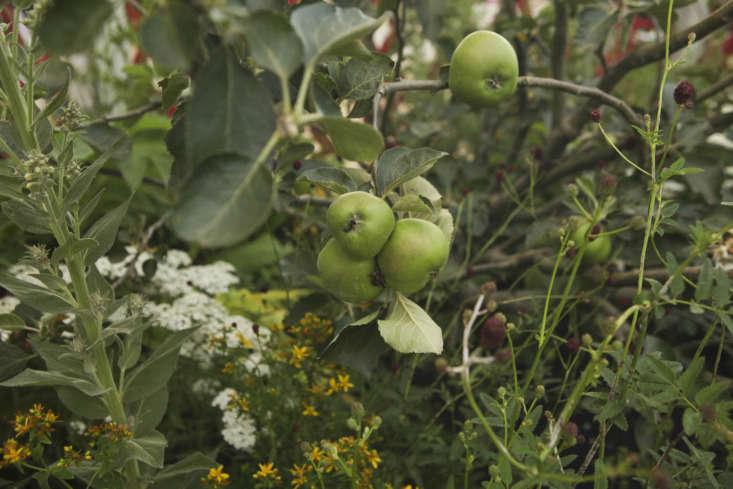 An apple tree grows amid yellow St. John&#8\2\17;s wort and Sanguisorba.