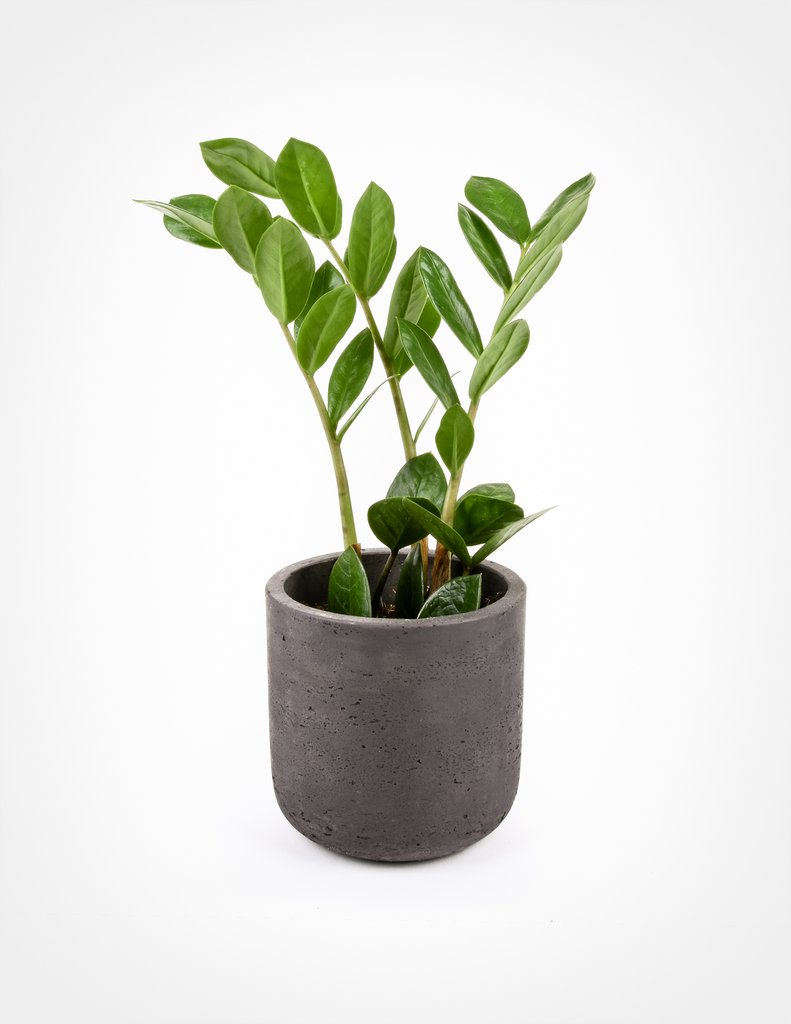 A four-inch Zamioculcas Zamiifolia in a plastic nursery pot is $ at Pistils Nursery.