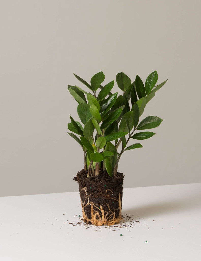 A four-inch ZZ Plant comes in a plastic nursery pot; $data-src=