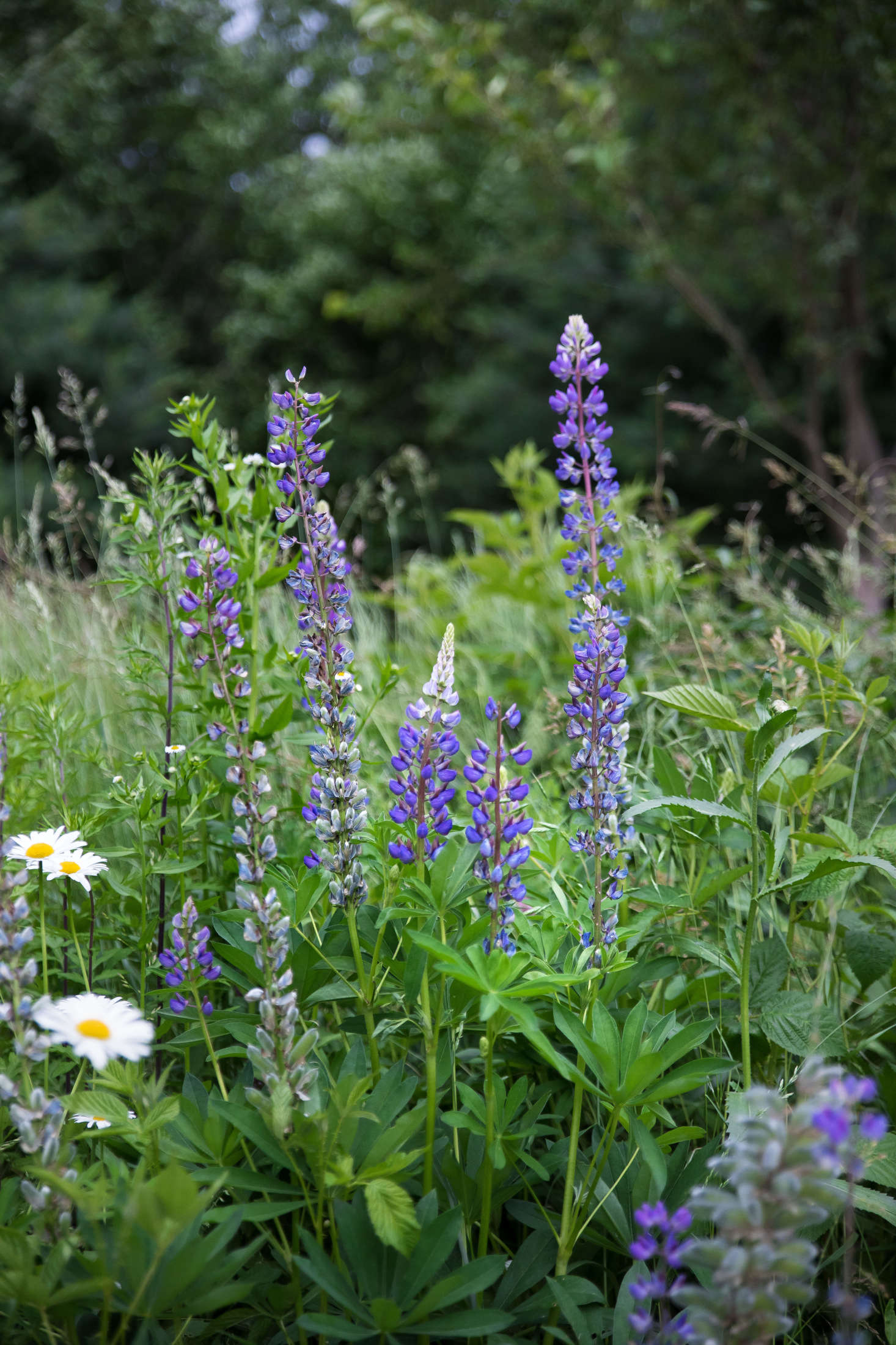 Planted among the grasses along the drive, lupine and daisies provide a bit of color and cheer.