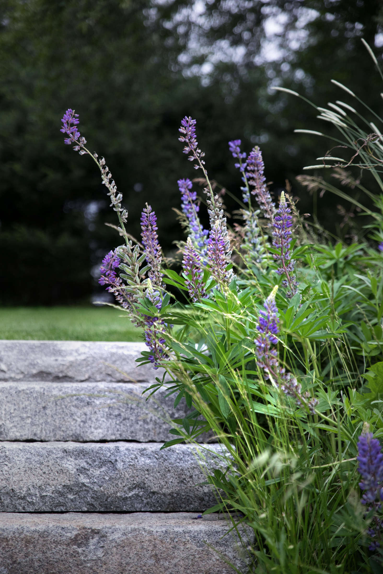 More lupine and grass create a soft border along the granite steps.