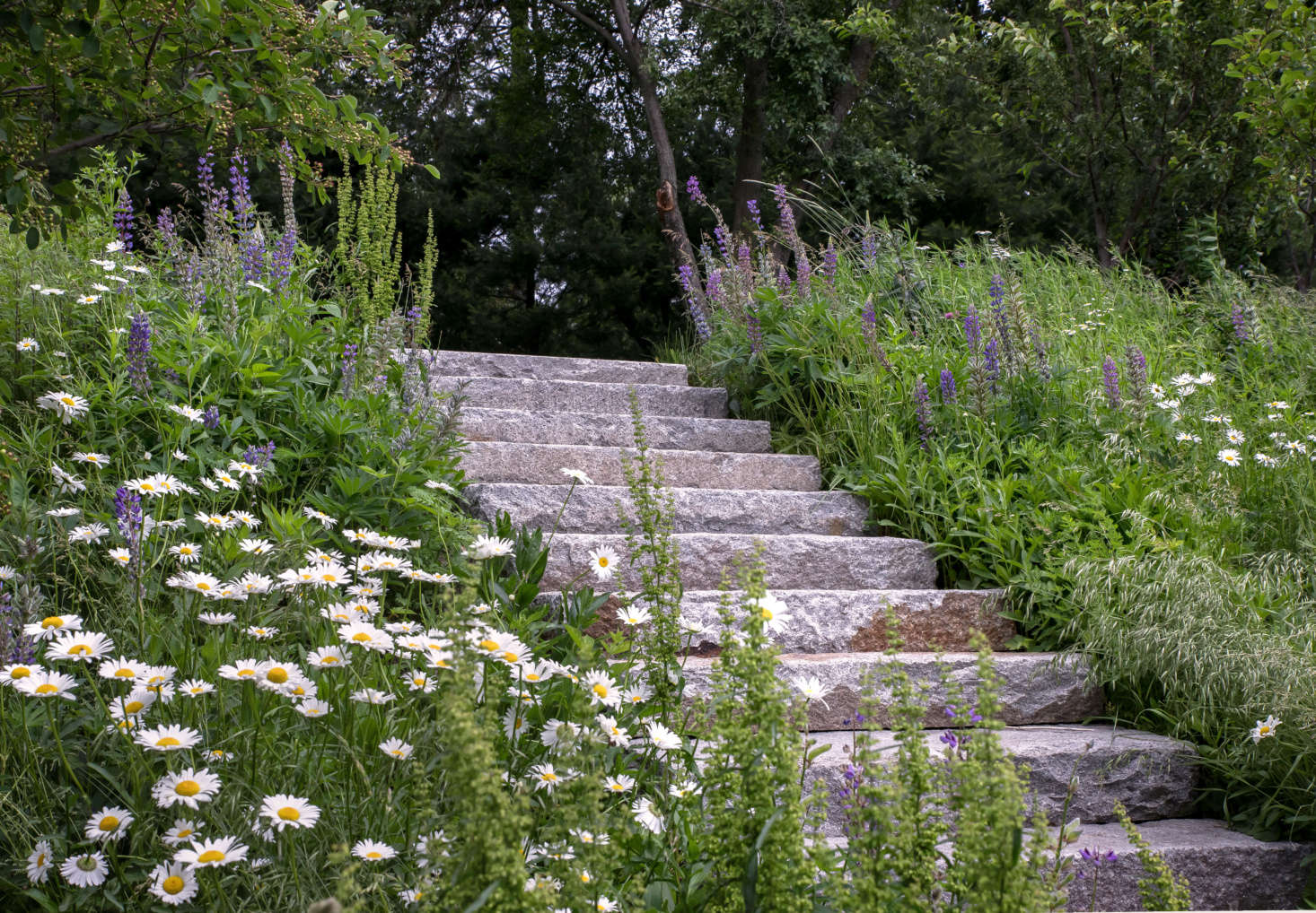 The hillside was seeded with a meadow mix; in early summer lupine and daisy offset the granite steps. The stairs are made from locally sourced, salvaged granite for an authentic look.