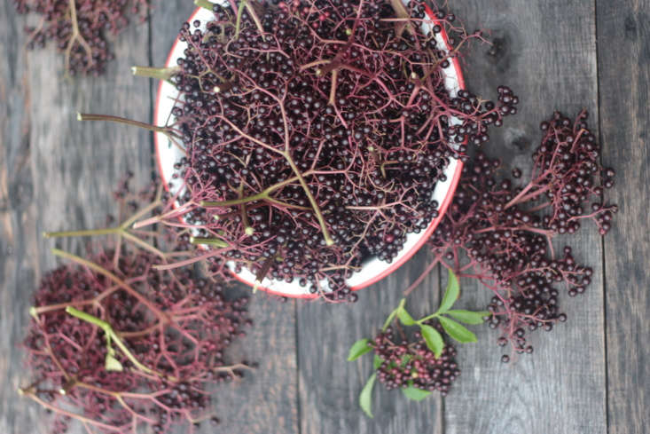 Elderberry syrup is a proven therapy for colds and flus, says Viljoen. Ferment elderberries to make capers with &#8