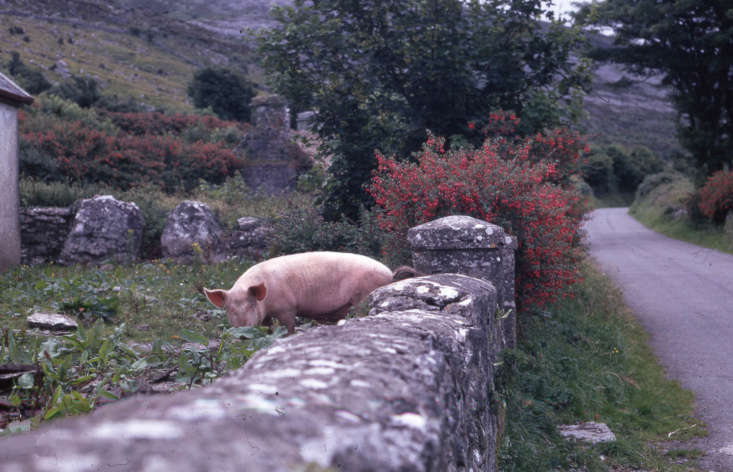 A bright red Fuchsia magellanica bush in bloom in the Irish countryside, pig included. Photograph by Dr. Mary Gillham Archives via Flickr.