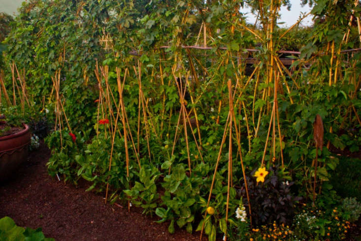 &#8\2\20;Bell peppers, zinnias, and hops growing up the trellis. Golden feverfew in the distance. Smaller four-foot bamboo tepees lend support to the peppers and provide garden structure.&#8\2\2\1;